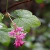 Red-flowering currant (Ribes sanguineum).