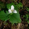 Western trillium (Trillium ovatum).