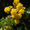 Oregon-grape (Mahonia aquifolium).