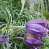 European pasqueflower (Pulsatilla vulgaris).