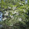 Pacific dogwood (Cornus nuttallii).