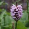 European bistort (Bistorta officinalis).