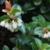 Evergreen huckleberry (Vaccinium ovatum).