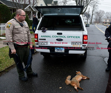 4/6/2017 Mike Orazzi | Staff Bristol Animal Control Officer Ray Zagurski after shooting a fox that bit a Bristol postal carrier on the leg on Goodwin Street Thursday afternoon. The fox was located and shot by Bristol animal control and will be sent off to rabies testing.