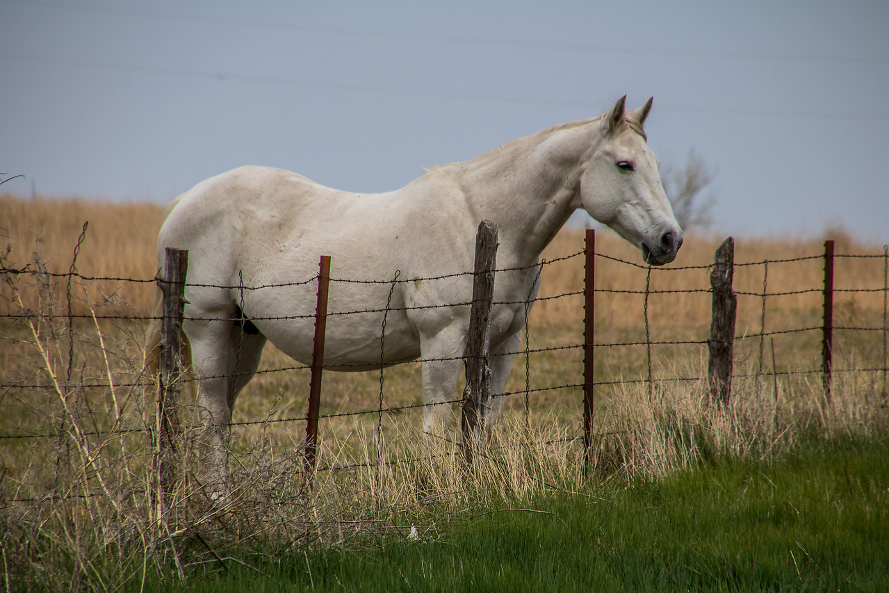 White Horse Near Canadian