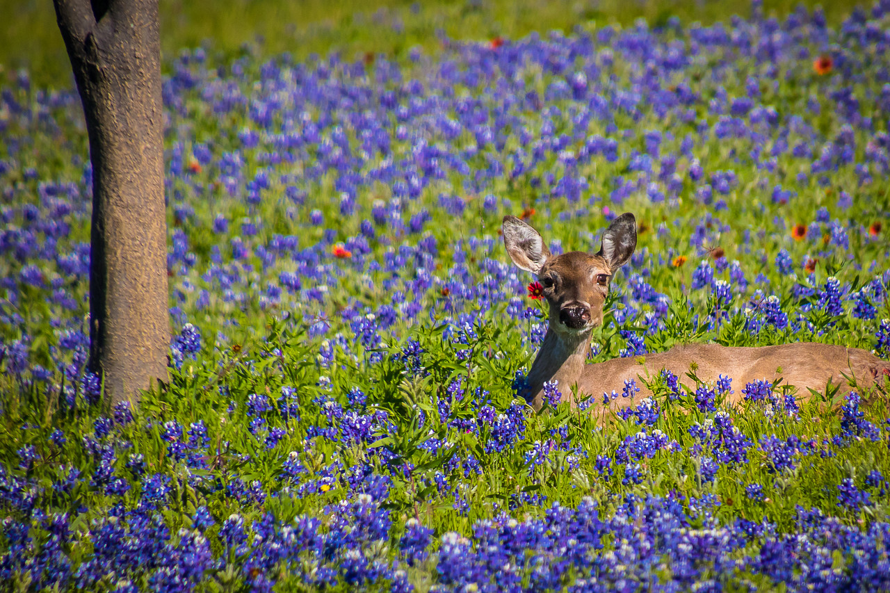 Deer Relaxing Among the Bluebonnets