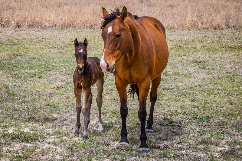 Little colt near Canadian, Texas.