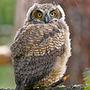 great horned owl fledgling vancouver island