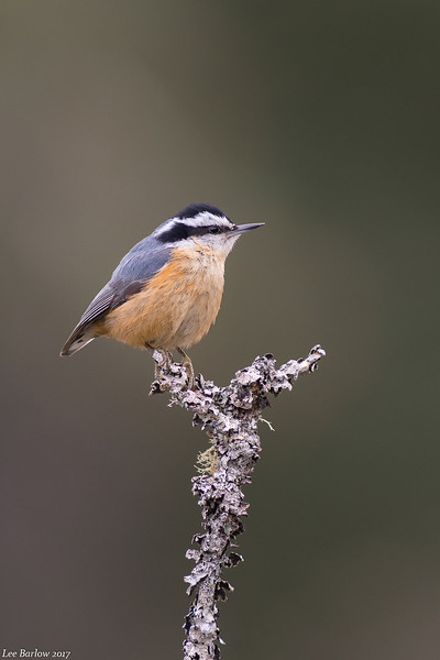 red-breasted nuthatch victoria bc