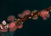 Brooding anemone, Epiactis prolifera