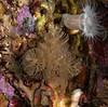 Spiral bryozoan, Bugula californica