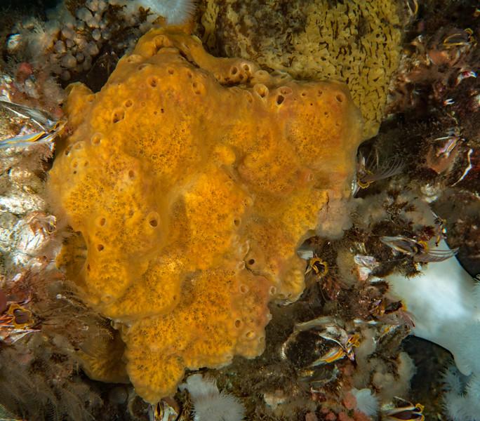 Yellow sponge - undetermined?