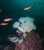 Metridium farcimen, Pugent Sound rockfish, black rockfish