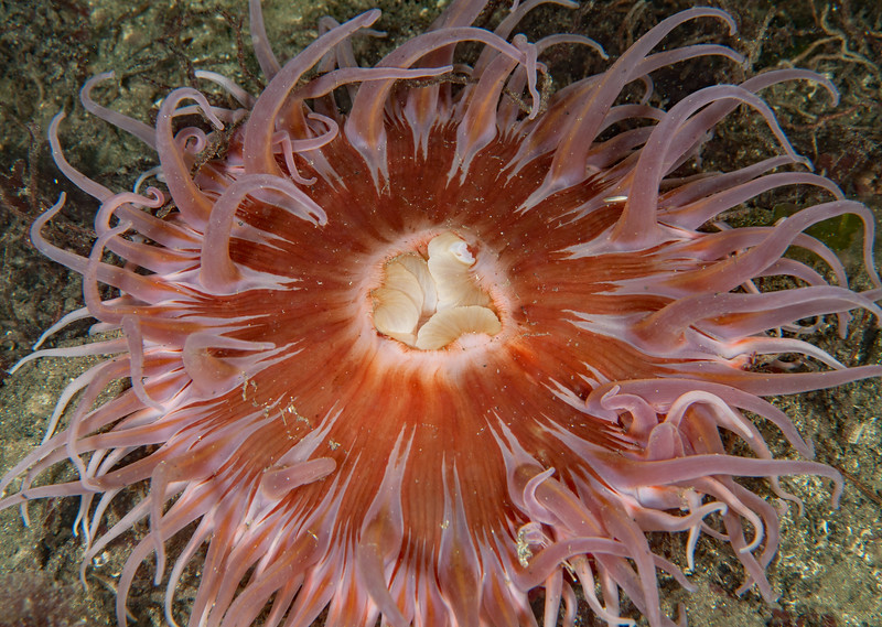 Urticina columbiana<br /> Hoodie Nudi Bay, Nigei Island, British Columbia