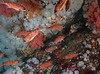 Puget Sound rockfish, Sebastes emphaeus