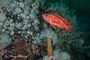Vermilion rockfish, Sebastes miniatus
