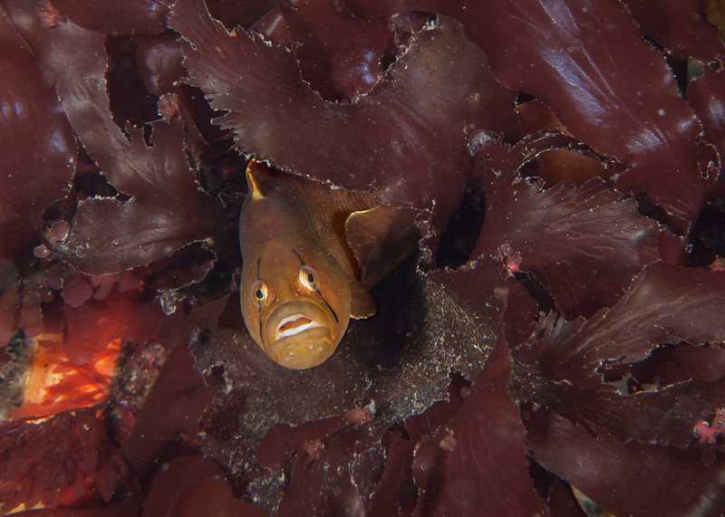 Penpoint gunnel, Apodichthys flavidus