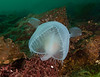 Hooded nudibranch, Melibe leonina