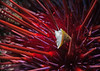 Possibly the dunce cap limpet (Acmaea mitra) on sea urchin