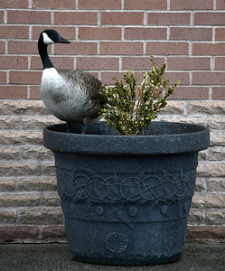 4/19/2018 Mike Orazzi | Staff A goose while guarding eggs laid in a flower pot at United Bank on Riverside Avenue in Bristol Thursday.