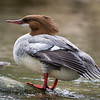 Common merganser Victoria bc