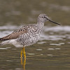 greater yellowlegs Victoria bc