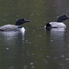common loon Eric lake Cape Scott park Vancouver island