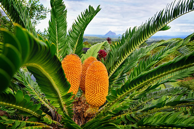 """Cycad and Glasshouse Mountains. 16:10 format."""