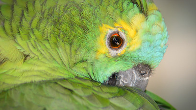 """Blue-fronted Amazon Parrot, Maleny."" 1."