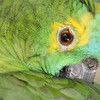 """""""Blue-fronted Amazon Parrot, Maleny."""" 1."""