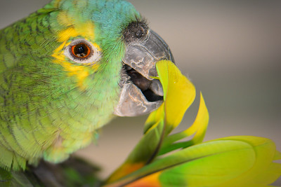 """""""Blue-fronted Amazon Parrot, Maleny."""" 2."""