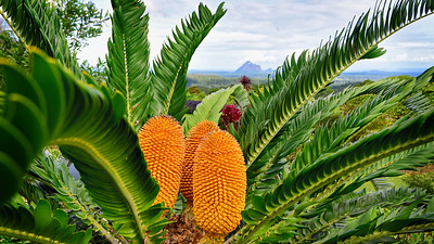 """Cycad and Glasshouse Mountains. 16:9 format."""