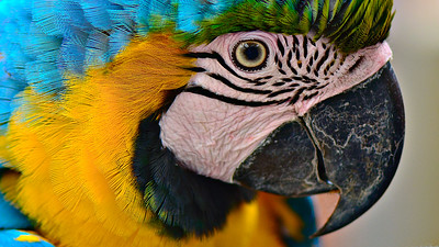 'Blue and Yellow Macaw.'