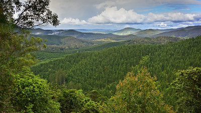 View of pine plantation from Sunday Creek Road, Conondale N.P..