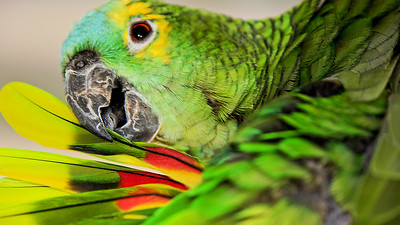 """Blue-fronted Amazon Parrot, Maleny. 3."""
