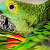 """""""Blue-fronted Amazon Parrot, Maleny. 3."""""""
