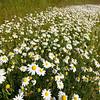 Wildflowers at Laguna Seca