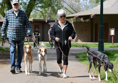 Camp Fire survivors Bill and Pam Bechtold walk Wednesday with their three Salukis, Roxanne, Rowan and Arya, through lower Bidwell Park in Chico. Now living in Chico, Bill and Pam regularly walk their dogs through the park  to relax. They have owned Salukis for years and Roxanne is a certified therapy dog. (Matt Bates -- Enterprise-Record)