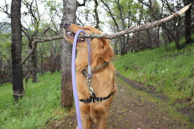 There were plenty of fallen branches after the recent storms around the Lime Saddle Recreation Area trail for dogs to enjoy on Monday. (Risa Johnson -- Enterprise-Record)
