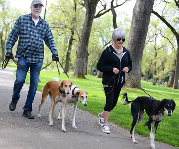 Camp Fire survivors Bill and Pam Bechtold walk Wednesday with their three Saluki-breed dogs Roxanne, Rowan and Arya, through lower Bidwell Park in Chico. Now living in Chico, the Bechtolds regularly walk their dogs through the park to relax. They have owned Salukis for years and Roxanne is a certified therapy dog. (Matt Bates -- Enterprise-Record)