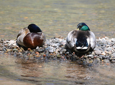 "Ducks rest on a rock formation Wednesday in lower Bidwell Park in Chico. Readers can submit for photos for ""Hot Shot"" consideration to photo@chicoer.com. (Matt Bates -- Enterprise-Record)"