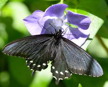 A butterfly rests on a wildflower in lower Bidwell Park Wednesday in Chico. (Matt Bates -- Enterprise-Record)