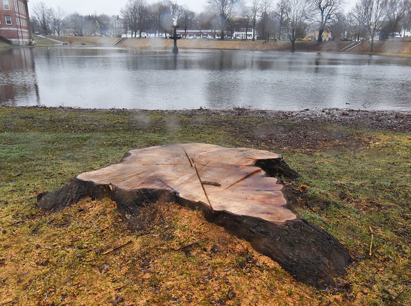 BRYAN EATON/Staff Photo. The stump of a willow tree remains at Newburyport's Bartlet Mall as it an other trees around the Frog Pond were taken down.