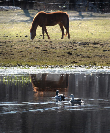 BRYAN EATON/Staff Photo. A horse grazes at Tendercrop Farm cattle farm on Route 1A in Rowley as two ducks push waves onto its reflection on Tuesday morning. Rain is in the forecast Tuesday night into Wednesday morning with temperatures getting better for the weekend and possible 70 degrees next Monday.