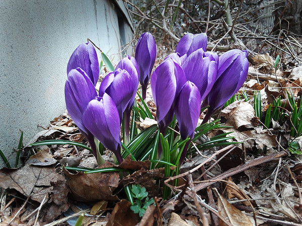BRYAN EATON/Staff photo. Crocuses push up through the dead leaves on the side of Fair Street in Newburyport as spring progresses.