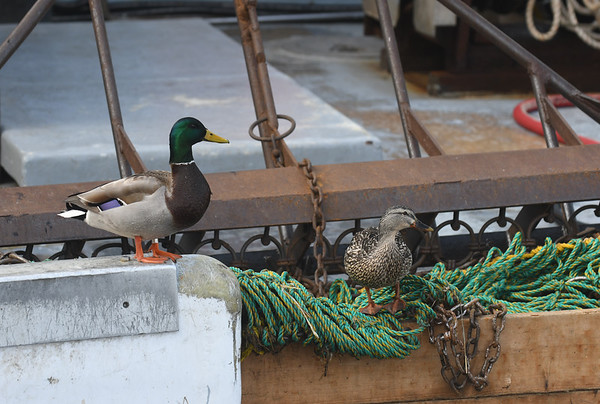 JIM VAIKNORAS/Staff photo A pair of ducks rest on the fishing gear on the Early Times as it sits in the embayment on Newburyport's waterfront Sunday morning.
