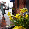BRYAN EATON/Staff Photo. April showers apparently bring April flowers as well as May ones as evidenced by the raindrops on these daffodils in a window box on State Steet in Newburyport. More showers are forecast for part of Tuesday and a mix of clouds and sun on Wednesday with temperatures warming for the weekend.