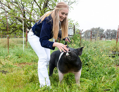 Amber Kurth, 17, gives her pig Wilbur one of his favorite treats, a marshmellow, on April 4 in Orland. (Matt Bates -- Enterprise-Record)