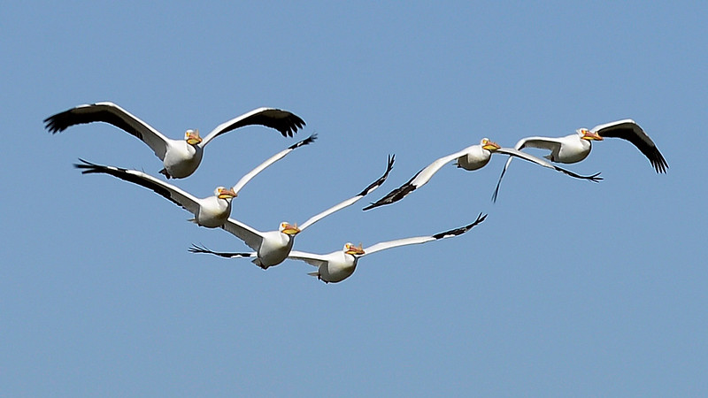 Pelicans at Highland Lake in Mead
