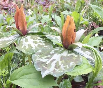 sweetbetsytrilliums